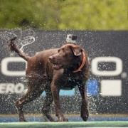"""VAIL, CO - JUNE 4:   The GoPro Mountain Games kicked off in Vail, CO on Thursday June 4, 2015.   It is a GoPro world out there as chocolate lab """"Sienna""""  shakes off the water after  a practice jump with a GoPro camera harnessed to her back in the  DockDogs  Outdoor Big Air competition. Sienna is from Vail and owner Adam Hart was with her.  Dogs came from all over the country to compete at jumping into a swimming pool for distance.  (Photo by Cyrus McCrimmon/The Denver Post via Getty Images )"""