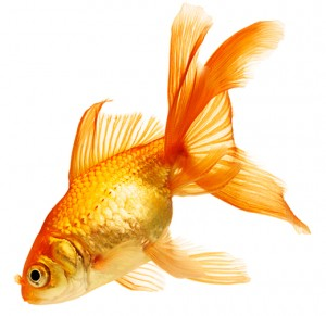 Goldfish-70361200-web